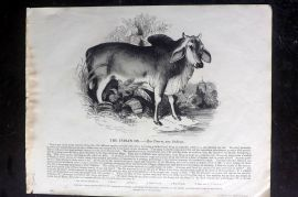 SPCK 1842 Folio Print. Indian Ox